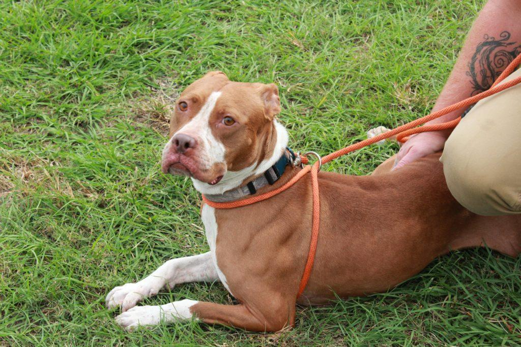 Penelope, ID Number 42059880, is a 4-year-old female Terrier/American Staffordshire mix with brown and white coloring. Penelope is a Dolly's Dream Dog and she comes with over $400 worth of supplies and services. She is a very good dog but a bit shy at first. Once you get her out and she is comfortable with you, she is a great dog. Come meet Penelope today and make her your friend forever.