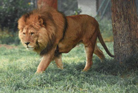 APRIL FOOLS: Actual lion to replace Piedmont mascot Leo